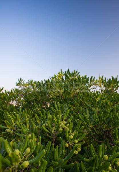 Olijfboom natuur blad zomer groene Stockfoto © Nejron