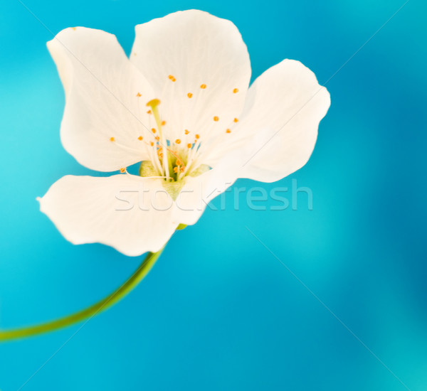 White flower over blue background Stock photo © Nejron