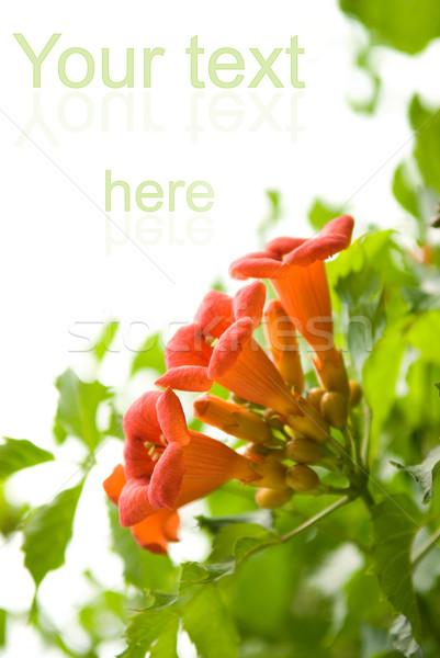 Beautiful fresh flowers isolated on white background Stock photo © Nejron