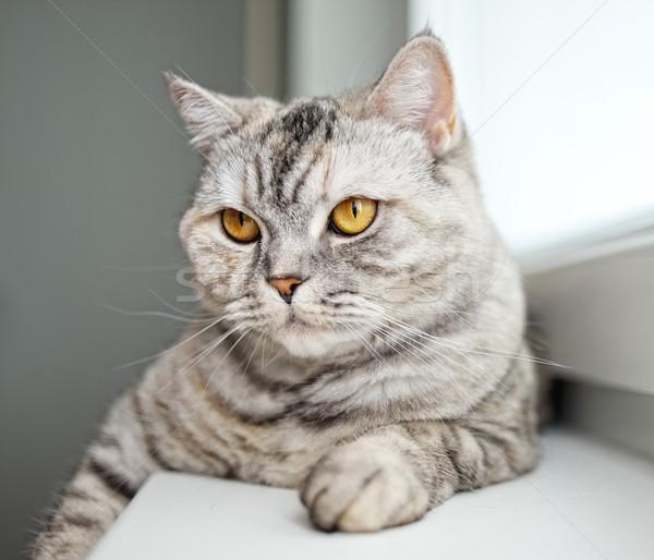 Close-up of a beautiful cat Stock photo © Nejron