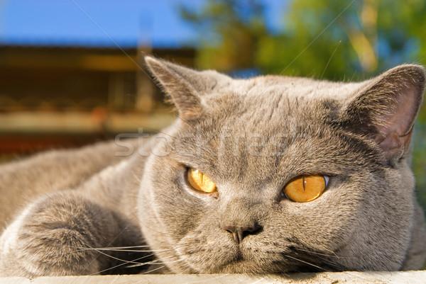 怠惰な 英国の 猫 屋外 家族 眼 ストックフォト © Nejron