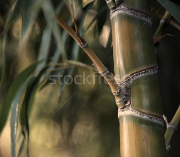 Primo piano bambù impianto abstract foglia giardino Foto d'archivio © Nejron