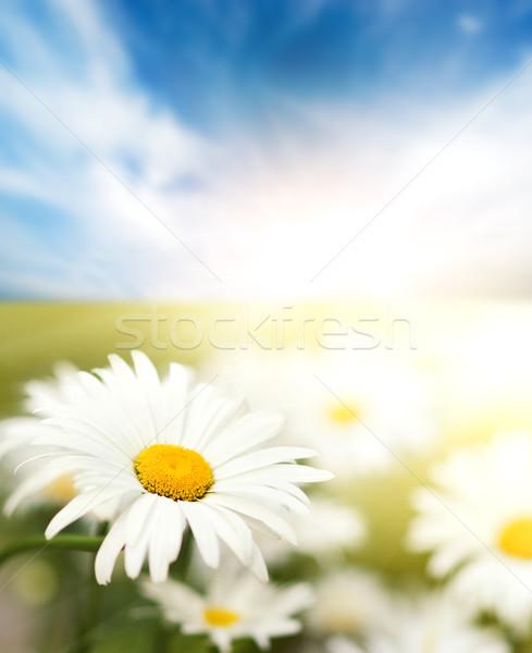 Daisy campo flor verano azul nube Foto stock © Nejron