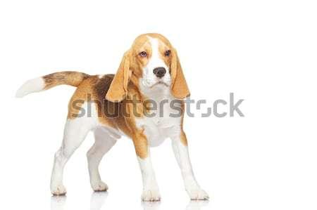 Stock fotó: Kopó · kutya · izolált · fehér · háttér · lábak