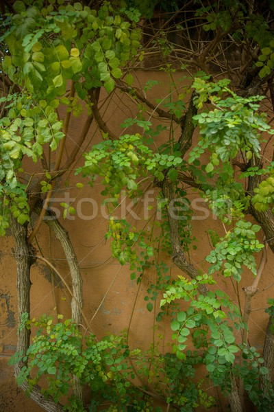 Ivy leaves grow on wall Stock photo © Nejron
