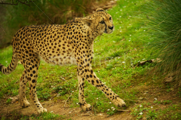 Stock photo: Cheetah outdoors