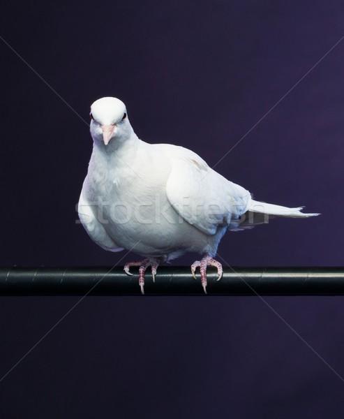 Képzett fehér galamb ül bot madár Stock fotó © Nejron