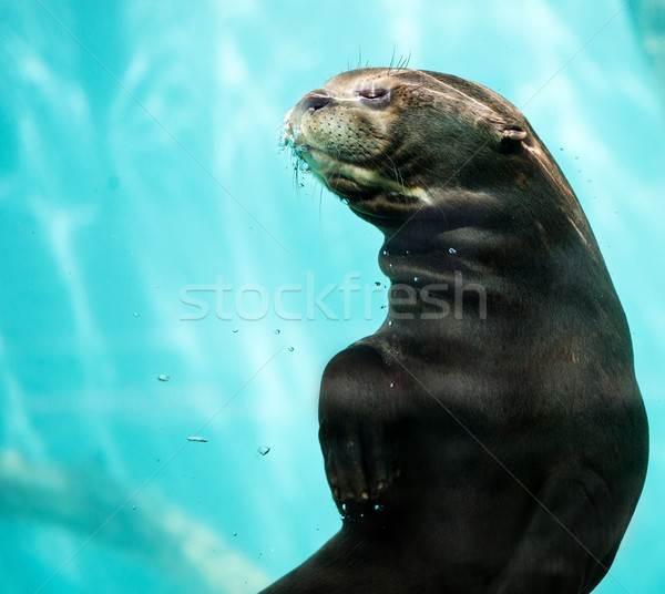 Beautiful sea lion in a water Stock photo © Nejron