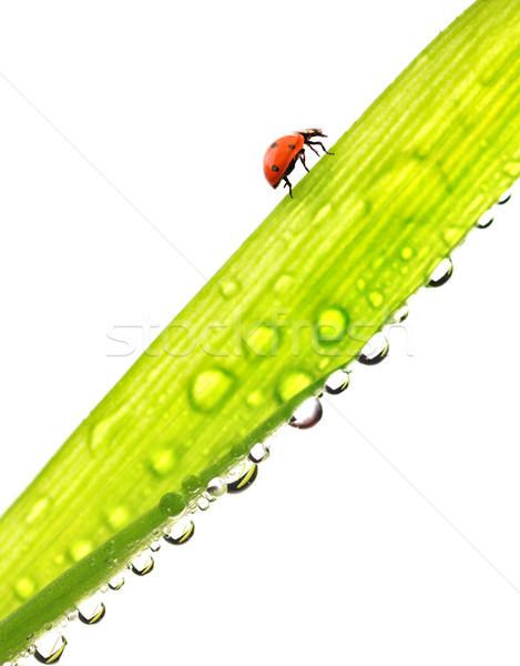 Joaninha corrida verde molhado grama isolado Foto stock © Nejron