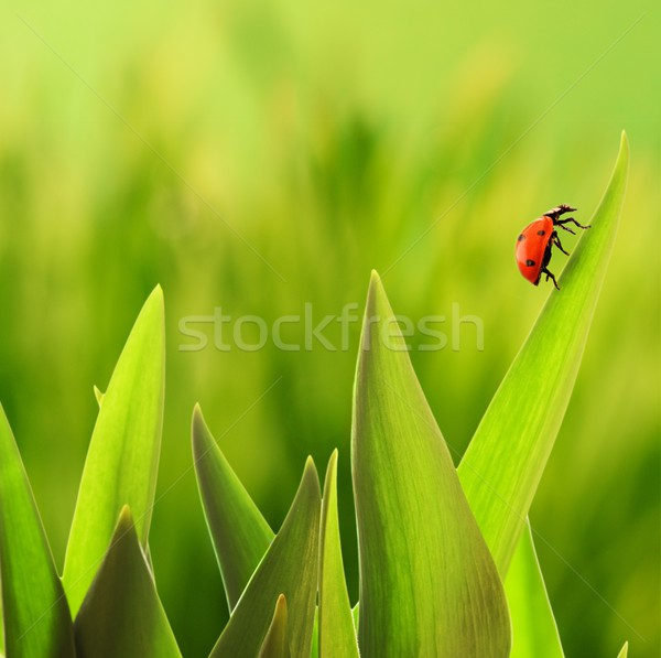 Ladybug sitting on a green grass  Stock photo © Nejron