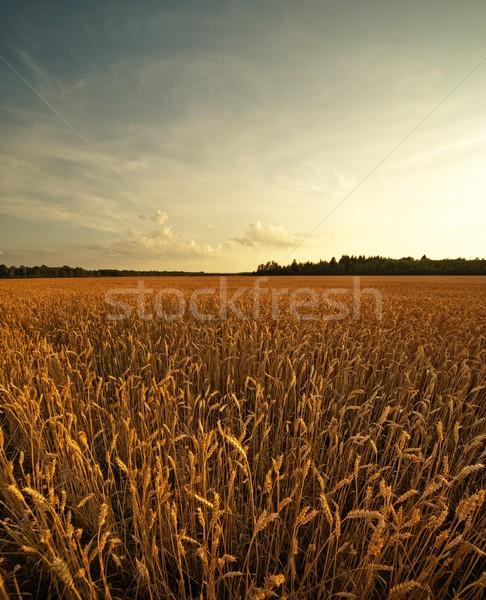 Búzamező égbolt erdő naplemente természet egészség Stock fotó © Nejron