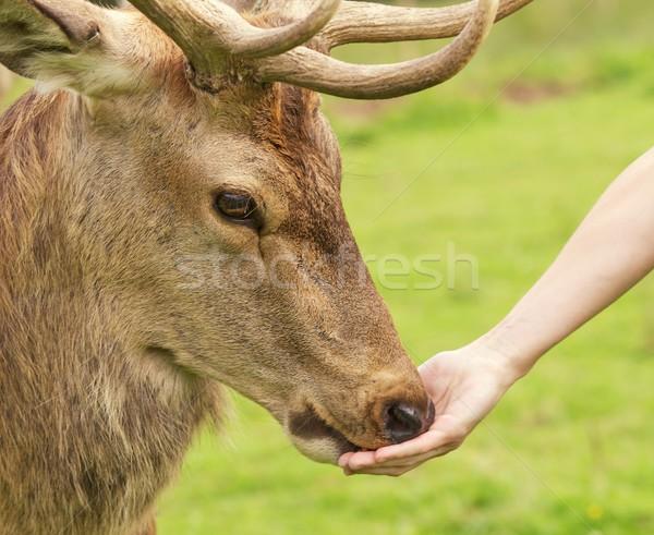 Human hand and a deer Stock photo © Nejron