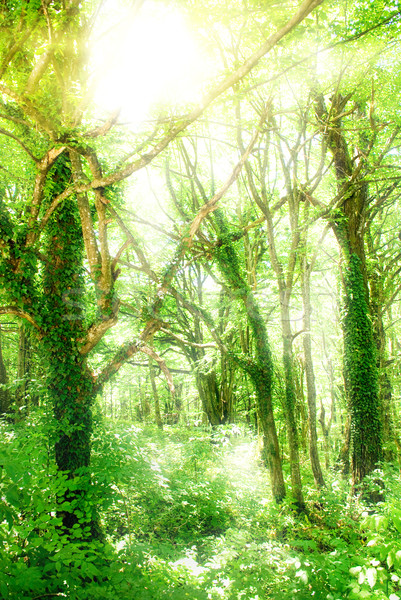 Sunshine in a forest Stock photo © Nejron