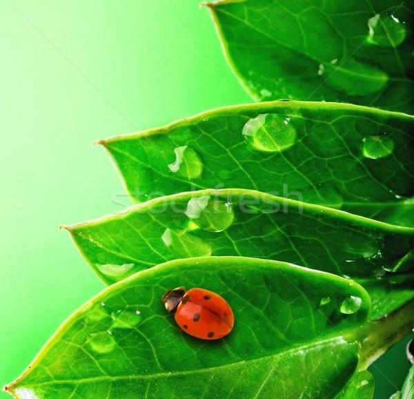 Stock fotó: Katicabogár · friss · zöld · levelek · víz · absztrakt · természet