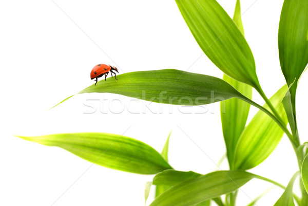 Ladybird sitting on a bamboo leaves Stock photo © Nejron
