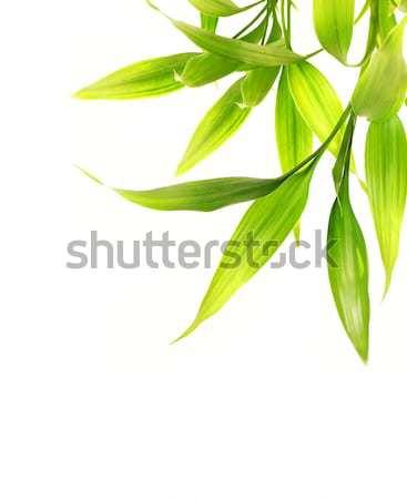 Bambusz levelek izolált fehér fa tavasz Stock fotó © Nejron