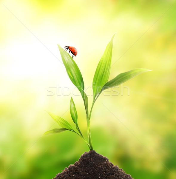 Coccinelle séance jeunes usine herbe feuille Photo stock © Nejron