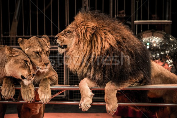 Gorgeous roaring lion and two lioness on circus arena Stock photo © Nejron