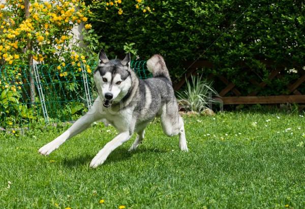 Mooie husky spelen groene weide hond Stockfoto © Nejron