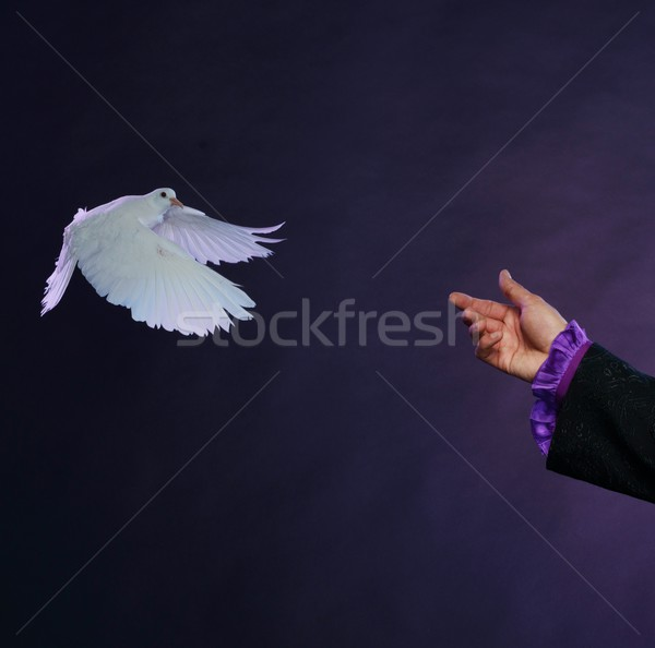 Trained white dove flying to magician hand  Stock photo © Nejron