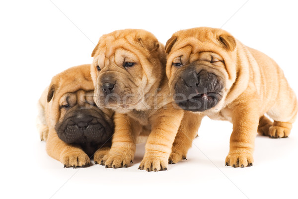 Beautiful sharpei puppies isolated on white background Stock photo © Nejron