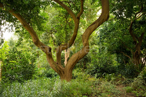 Crooked tree in forest Stock photo © Nejron