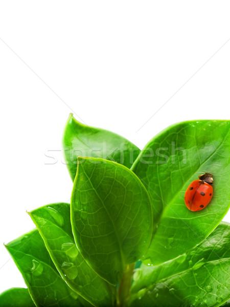 Uğur böceği oturma taze yeşil yaprak su çim Stok fotoğraf © Nejron