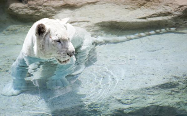 Resim beyaz kaplan su mavi güç Stok fotoğraf © Nejron