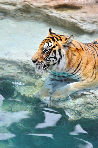 Zdjęcie bengalski Tygrys wody moc sam Zdjęcia stock © Nejron