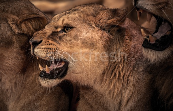 Beautiful roaring lioness close-up  Stock photo © Nejron