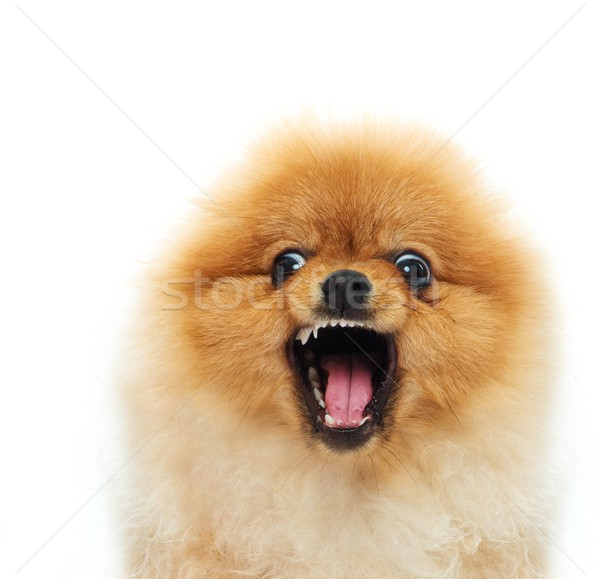 Little angry spitz Stock photo © Nejron