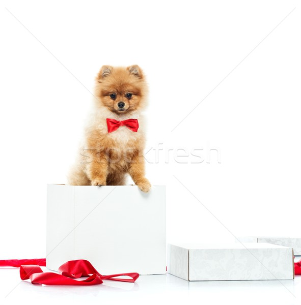 Little funny spitz with bow tie inside gift box Stock photo © Nejron