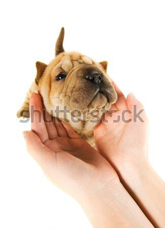 Human hands holding sharpey puppy isolated on white background Stock photo © Nejron