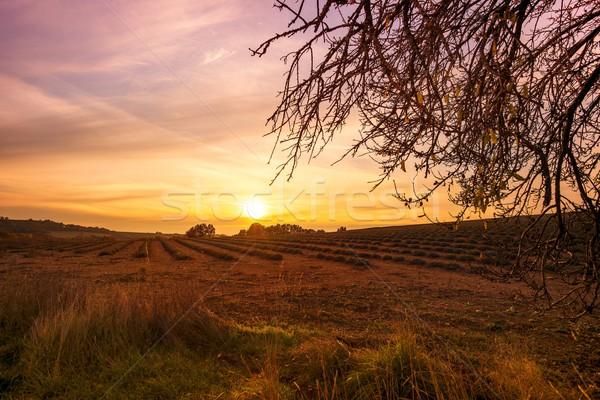 秋 ラベンダー畑 日没 自然 風景 美 ストックフォト © Nejron