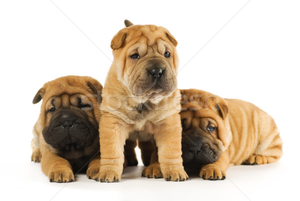 Group of sharpei puppies isolated on white background (studio sh Stock photo © Nejron