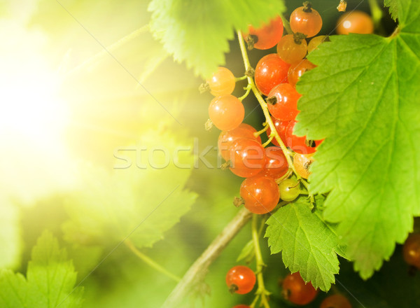 Red currant berries Stock photo © Nejron