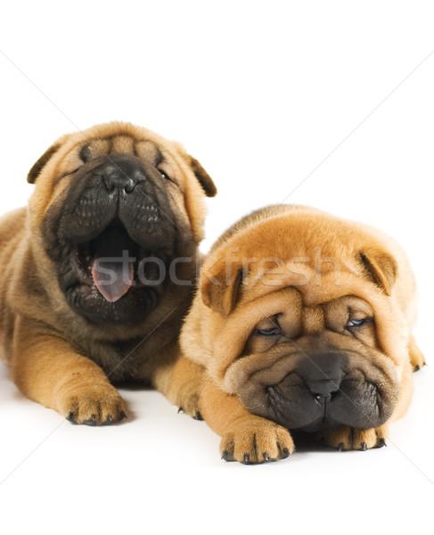 Dois belo sharpei filhotes de cachorro cara diversão Foto stock © Nejron