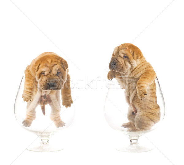 Sharpei filhotes de cachorro dentro óculos diversão engraçado Foto stock © Nejron