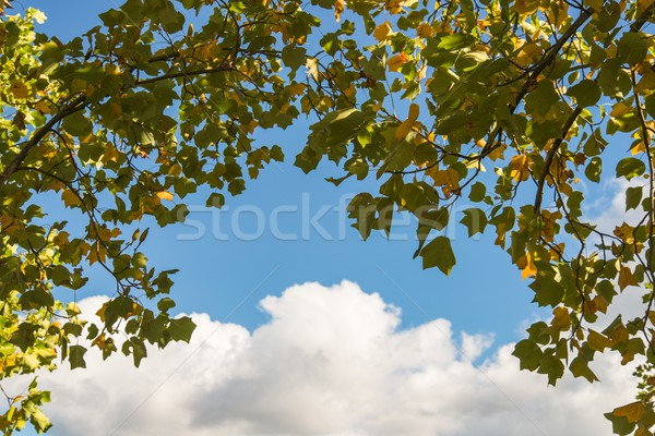 Zdjęcia stock: Drzewo · Błękitne · niebo · wiosną · liści · lata