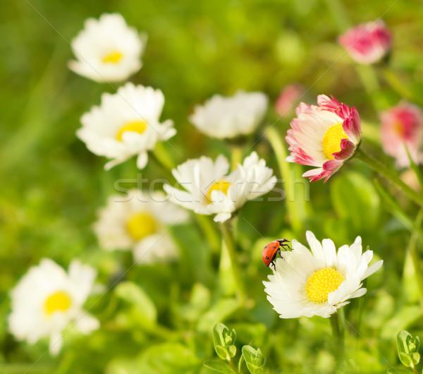 Coccinelle séance fleur printemps feuille jardin Photo stock © Nejron
