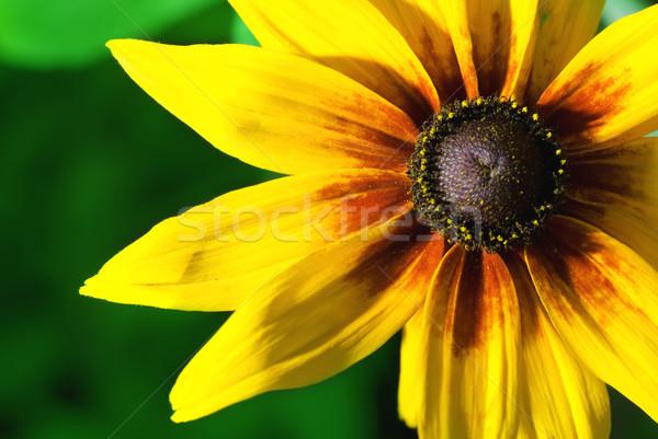 красивой желтый цветок счастливым солнце аннотация природы Сток-фото © Nejron