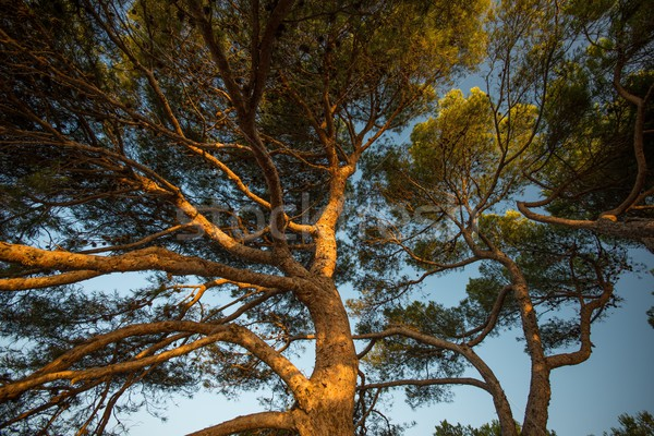 Pine tree over blue sky Stock photo © Nejron