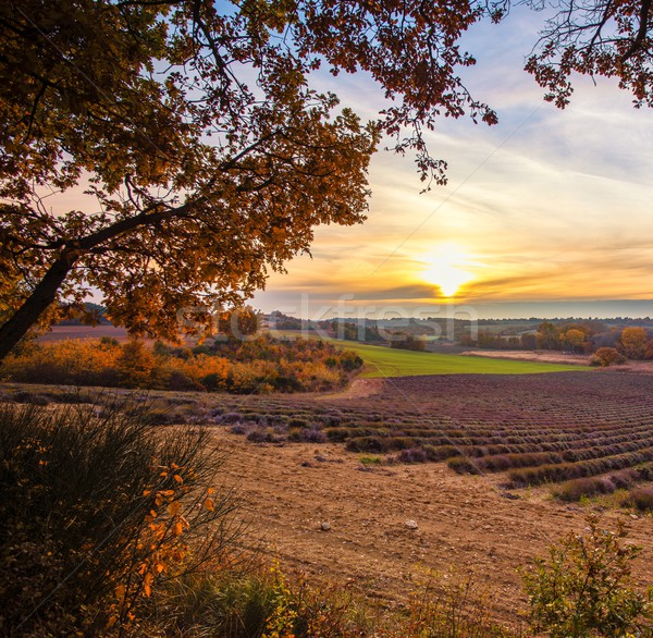 美しい ラベンダー畑 太陽 自然 風景 ストックフォト © Nejron