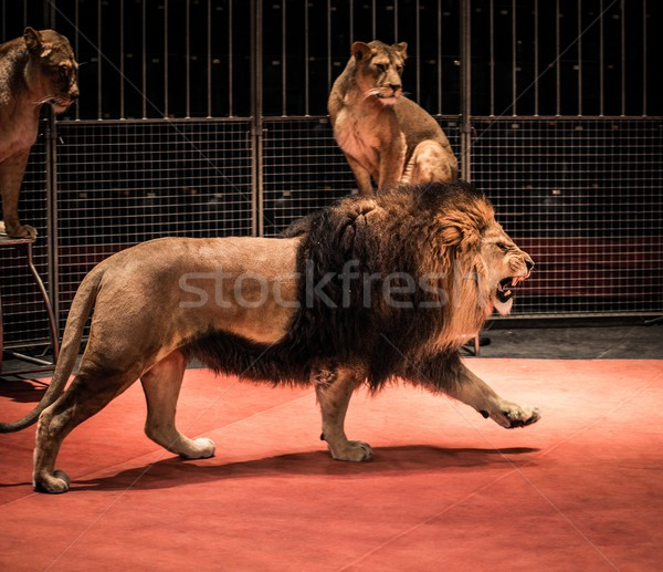Gorgeous roaring lion walking on circus arena and lioness sitting Stock photo © Nejron