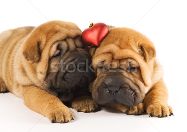 Iki sharpei yavru sevmek köpek yüz Stok fotoğraf © Nejron