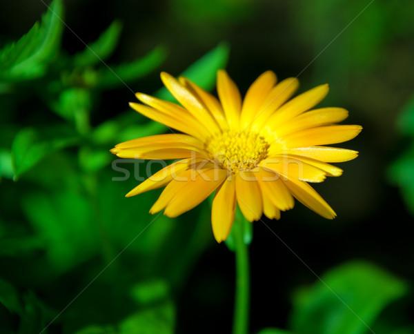 Gelbe Blume Gras Sommer Bereich Farbe Rasen Stock foto © Nejron