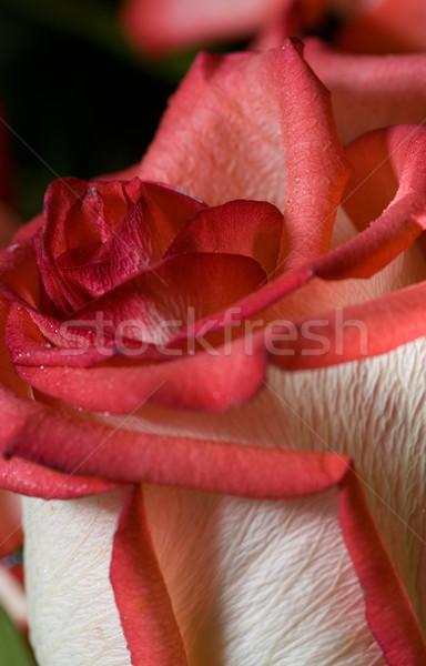 Red rose close-up shot Stock photo © Nejron