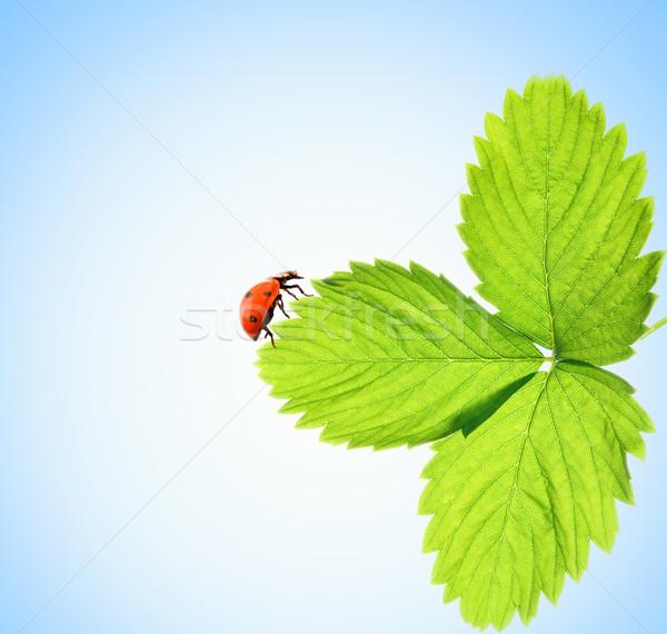 Ladybug sitting on a green leaf  Stock photo © Nejron