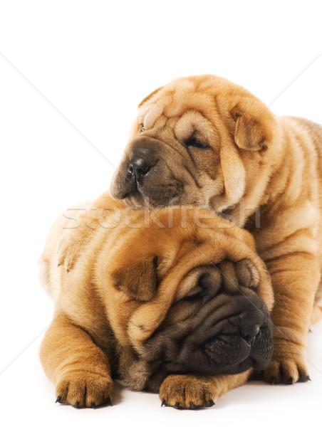 Dois sharpei filhotes de cachorro cara diversão engraçado Foto stock © Nejron
