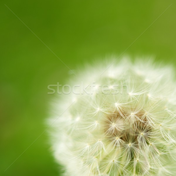 Close-up of white dandelion Stock photo © Nejron